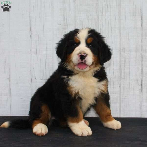 Scout, Bernese Mountain Dog Puppy