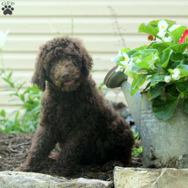 Shadow - Standard Poodle Puppy For Sale in Pennsylvania