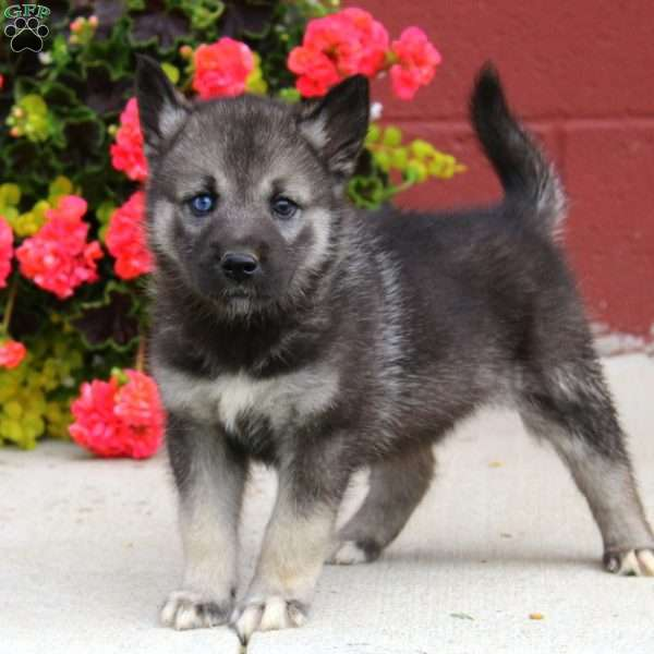 Spice, Norwegian Elkhound Mix Puppy