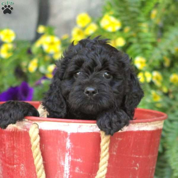 Star - Springerdoodle Puppy For Sale in Pennsylvania