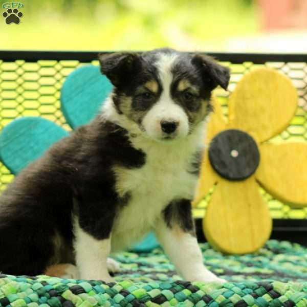 Sycamore, Border Collie Mix Puppy