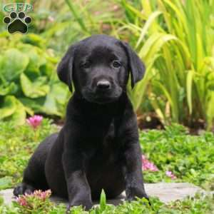 Taffy, Black Labrador Retriever Puppy