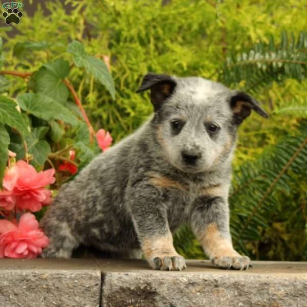Teal, Blue Heeler – Australian Cattle Dog Puppy