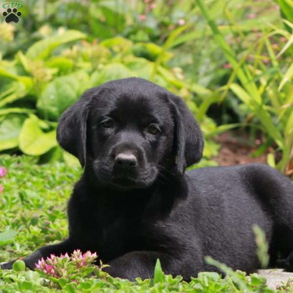 Tilly, Black Labrador Retriever Puppy