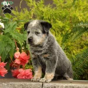 Tornado, Blue Heeler – Australian Cattle Dog Puppy