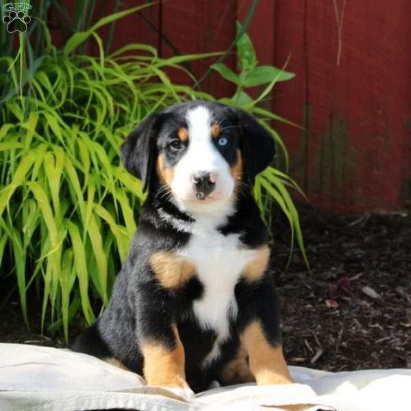 Wally, Greater Swiss Mountain Dog Puppy