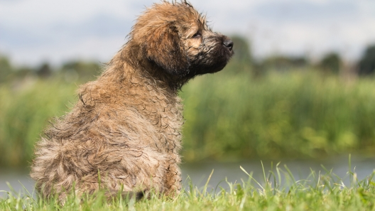 5 Things to Know About Catalan Sheepdog Puppies