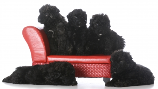 4 Things to Know About Bouvier des Flandres Puppies