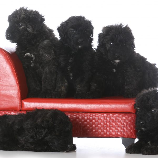 group of bouvier des flandres puppies
