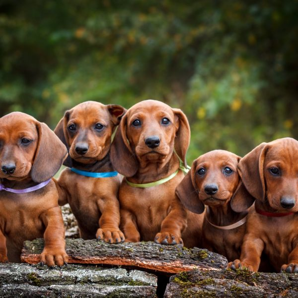 group of dachshund puppies