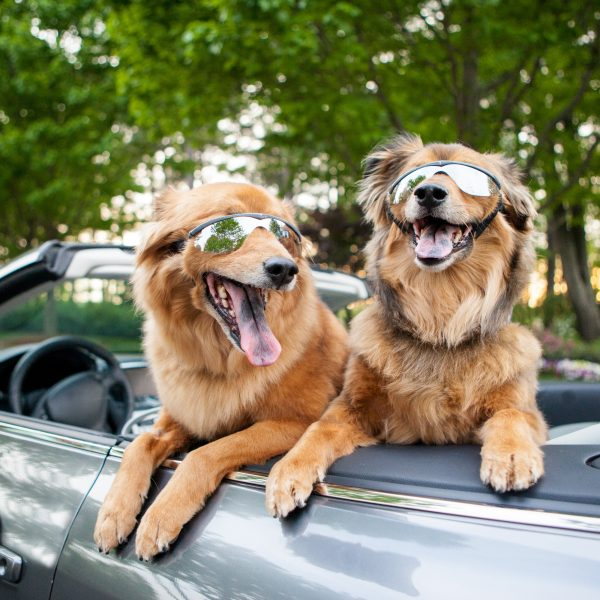 two dogs wearing sunglasses in a convertible