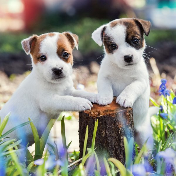 two jack russell terrier puppies outside