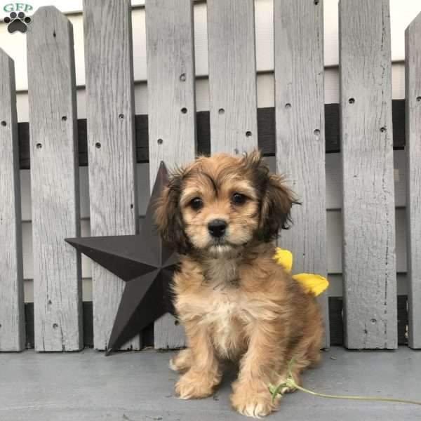 Angie - Cavachon Puppy For Sale in New York