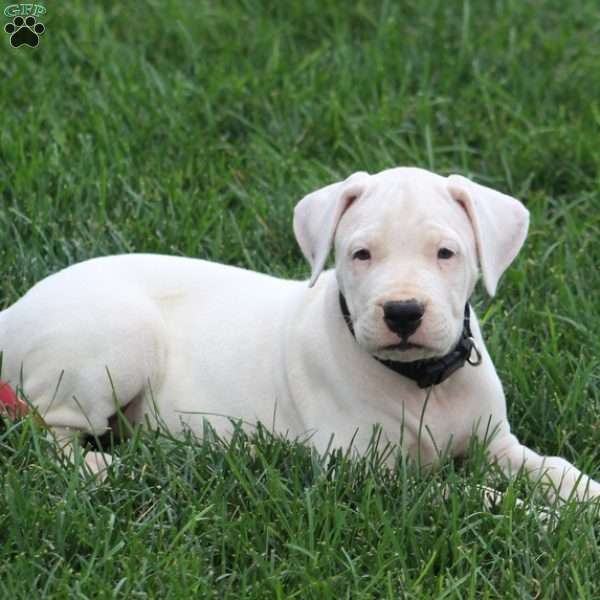 Bailey - Dogo Argentino Puppy For Sale in Pennsylvania