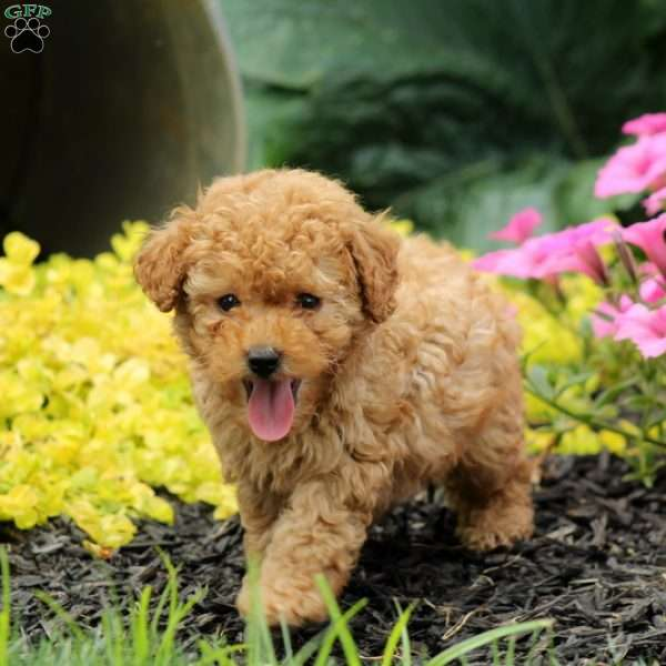 Barkley Miniature Poodle Puppy For Sale In Pennsylvania