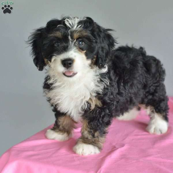 Bella - Mini Bernedoodle Puppy For Sale in Ohio
