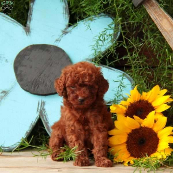 Bells Toy Poodle Puppy For Sale In Pennsylvania