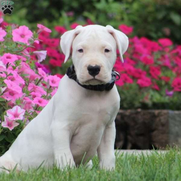 Blake - Dogo Argentino Puppy For Sale in Pennsylvania