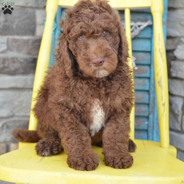 Coco - Standard Poodle Puppy For Sale in Ohio