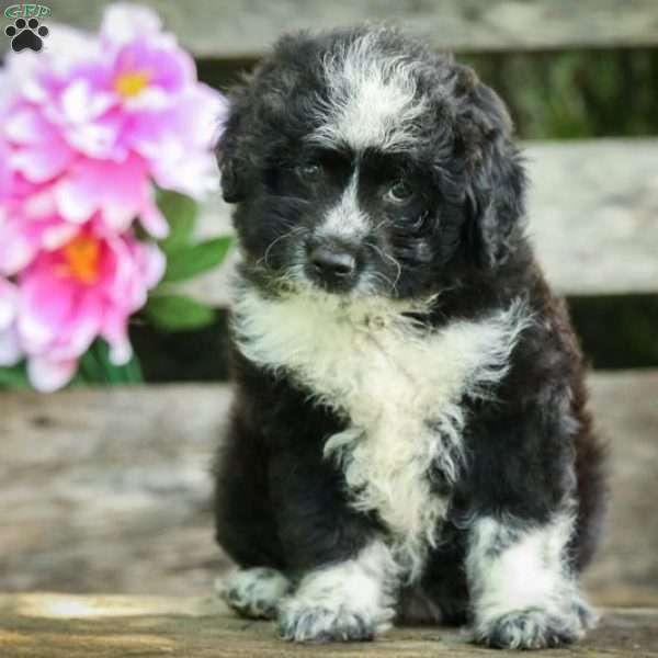 Cookie Miniature Aussiedoodle Puppy For Sale In Illinois