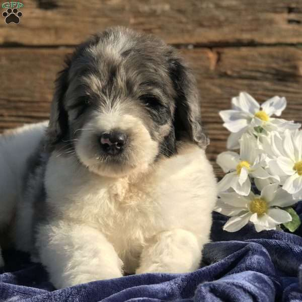 Diesel Newfypoo Puppy For Sale In Ohio