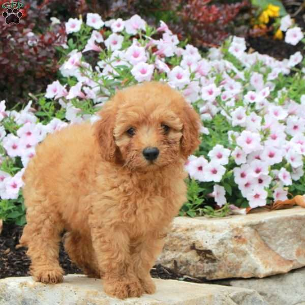 Dolly-F1B - Mini Goldendoodle Puppy For Sale in Pennsylvania