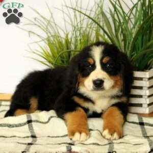 Dolly, Bernese Mountain Dog Puppy