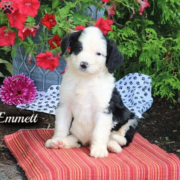 Emmett - Bernedoodle Puppy For Sale in Pennsylvania