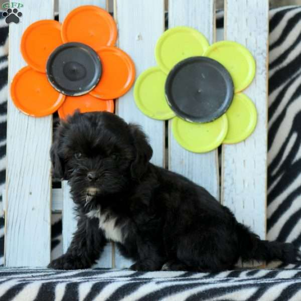 Fez - Shih-Poo Puppy For Sale in Pennsylvania
