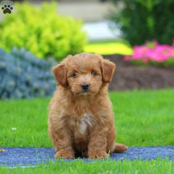 Gabe - Havapoo Puppy For Sale in Pennsylvania