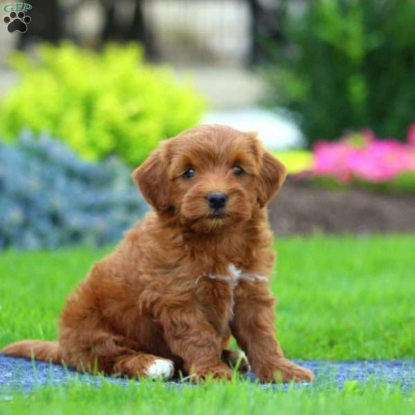 Gordy - Havapoo Puppy For Sale in Pennsylvania
