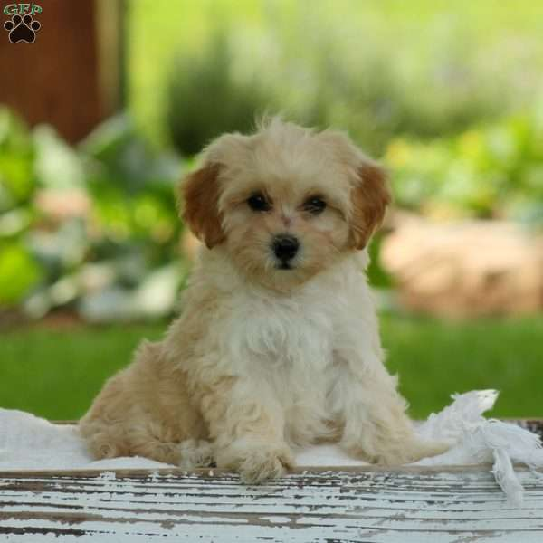 Maltipoo Puppies For Sale North Western Cape South Africa