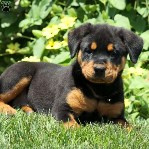 Rottweiler Puppies For Adoption In Pa