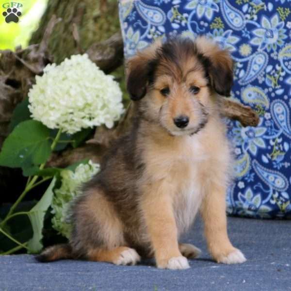 Julie, Sheltie Mix Puppy