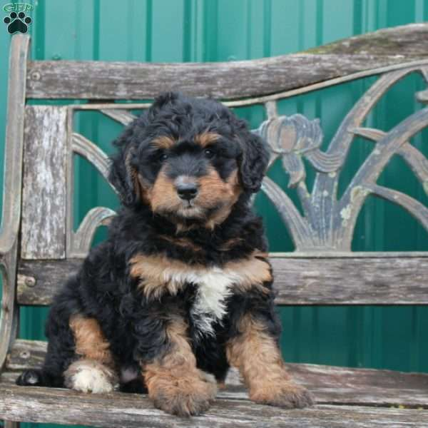 Katie - Mini Bernedoodle Puppy For Sale in Pennsylvania