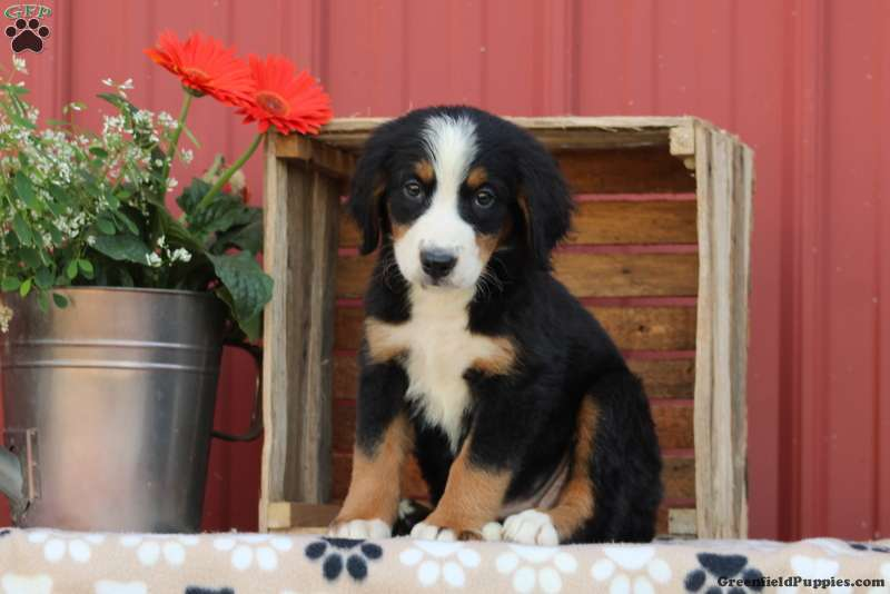 Kentucky Bernese Mountain Dog Puppy For Sale In Pennsylvania