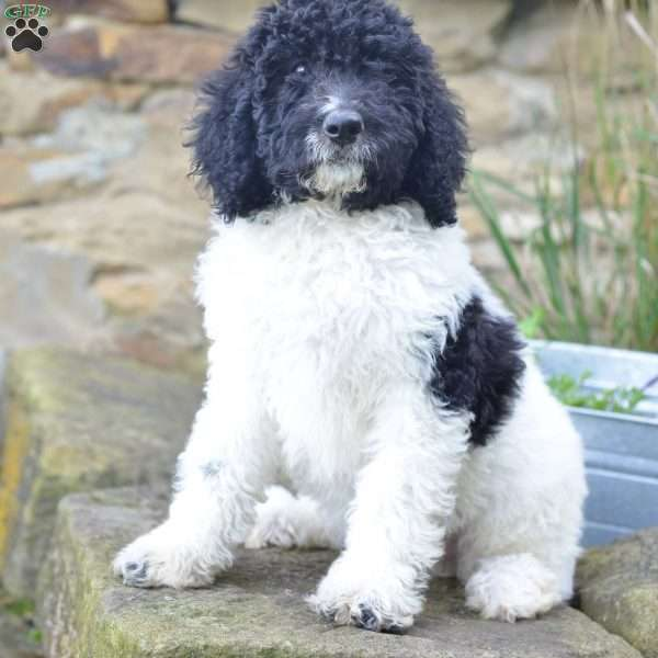 Lola F1b Labradoodle Puppy For Sale In Ohio