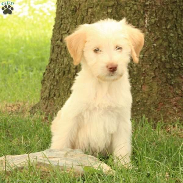 Marble, Goldendoodle Puppy