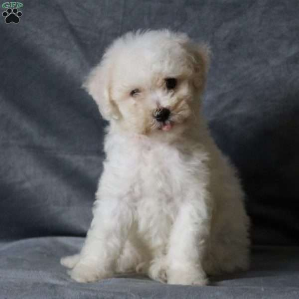 Marley - Bichon Frise Puppy For Sale in Virginia