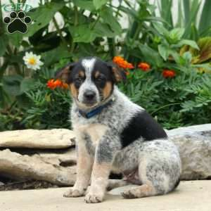 Blue Heeler Mix Puppies For Sale Greenfield Puppies