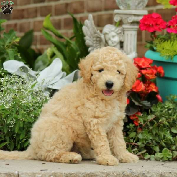 Rexie Miniature Poodle Mix Puppy For Sale In Pennsylvania