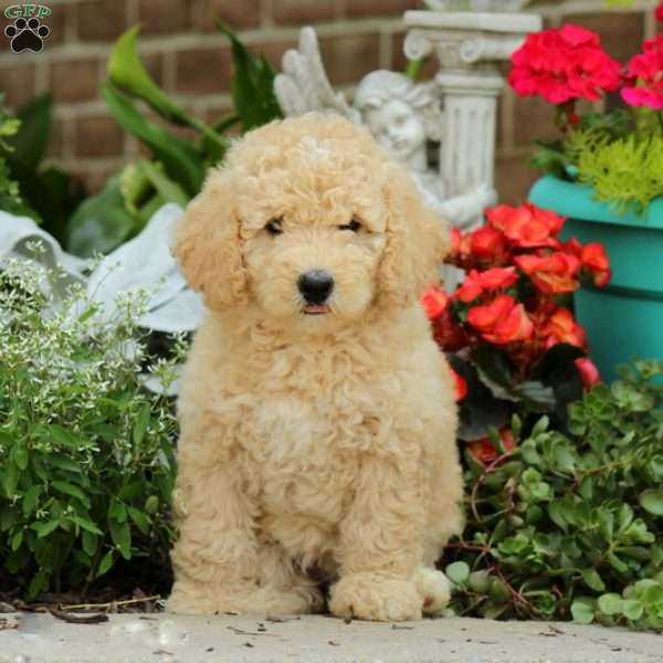 Rosie Miniature Poodle Mix Puppy For Sale In Pennsylvania