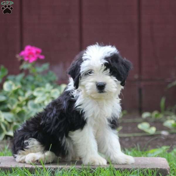 Shadow - Sheepadoodle Puppy For Sale in Pennsylvania