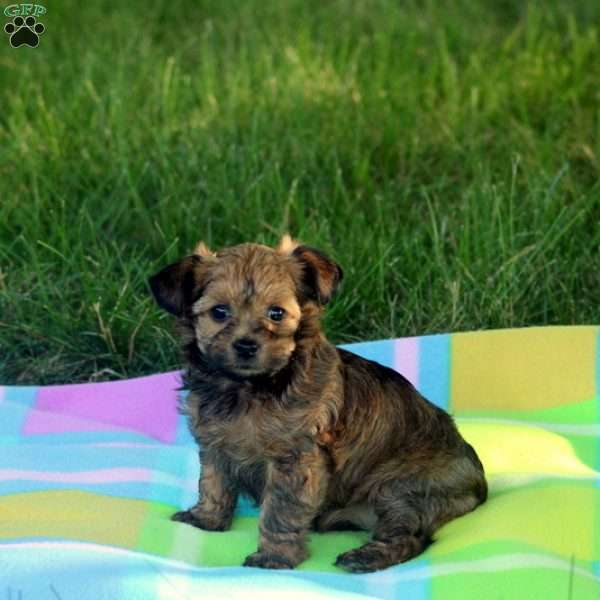 Sunflower - Yorkie-Poo Puppy For Sale in Pennsylvania