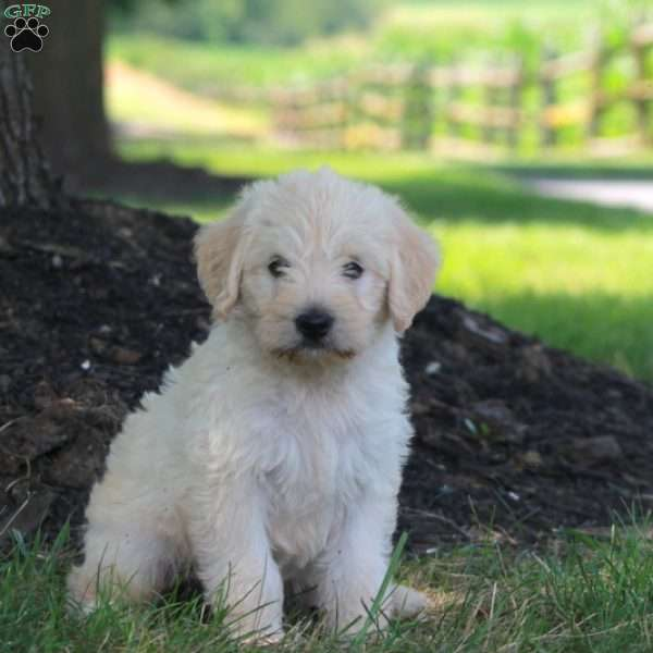 Tinkerbell, Mini Labradoodle Puppy