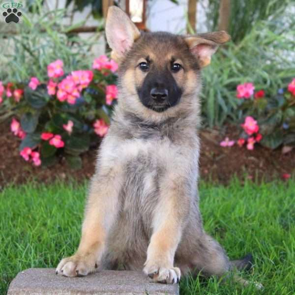 Tracy - German Shepherd Puppy For Sale in Pennsylvania