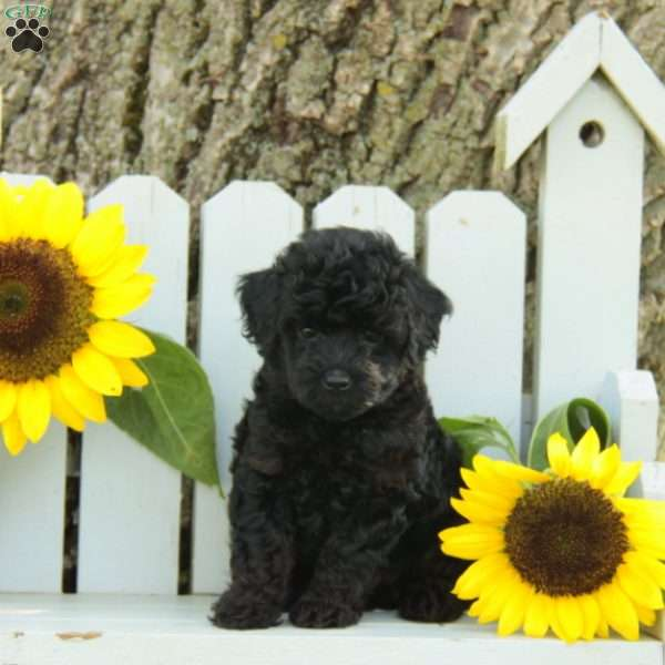 Whitney - Jack-a-poo Puppy For Sale in Pennsylvania