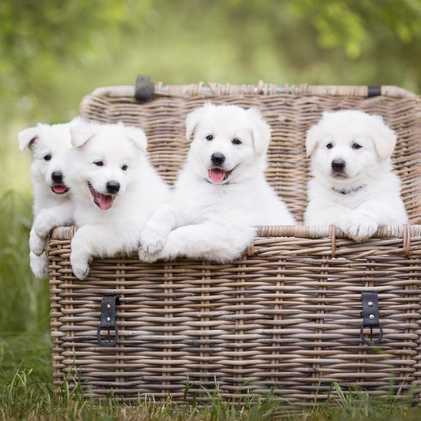 four white puppies in a basket
