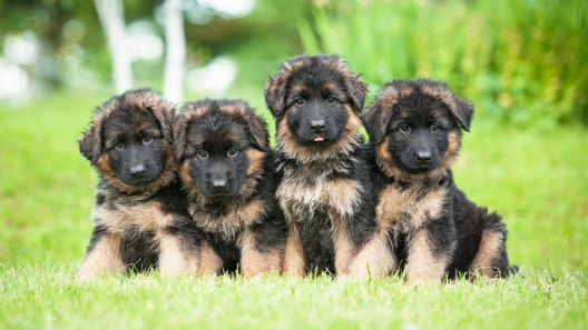 4 Things to Know About German Shepherd Puppies