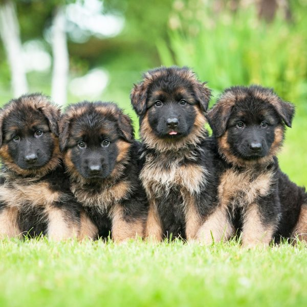 german shepherd puppies sitting in grass